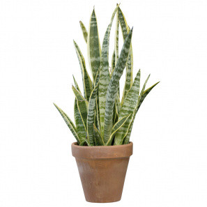 Sansevieria Tropical Plant