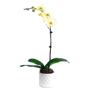 The Only Orchid Yellow buy at Florist